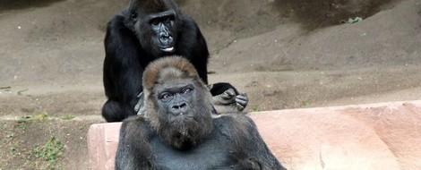 Die berührende Lebensgeschichte eines alten Gorillas