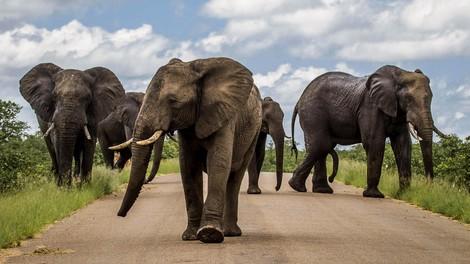 Warum man in Botswana wieder Elefanten jagen will