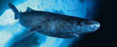 Tiere, die man kennen sollte: der Grönlandhai